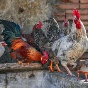 Grippe aviaire : levée du confinement pour les volailles et oiseaux de détenteurs particuliers