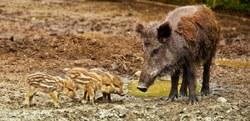 Peste porcine africaine : état des lieux