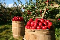Vous avez trop de pommes ?