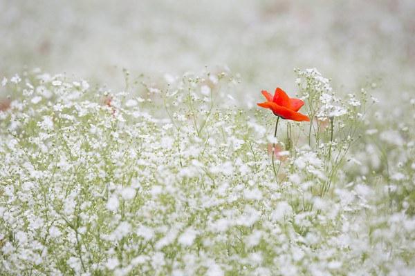 poppy 1128683 1920